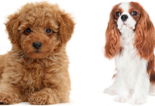 Photo of Cavapoo: A Cuddly Toy Hybrid Like No Other