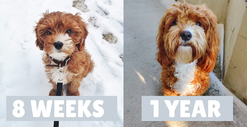 cavapoo age difference