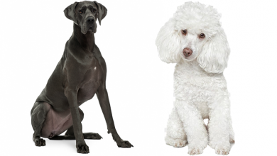 Photo of Great Doodle (Great Dane Poodle Mix) – The Complete Guide