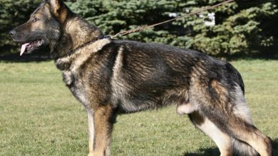 Photo of Sable German Shepherd – Everything You Need To Know