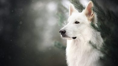 Photo of White German Shepherd: Everything You Need To Know