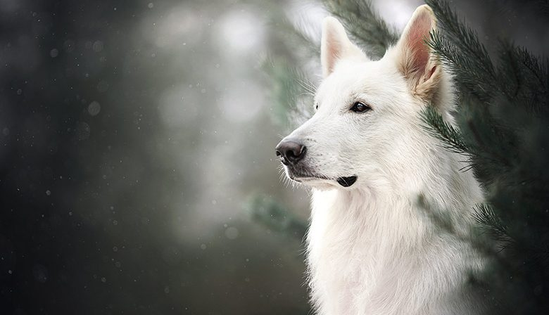 The White German Shepherd
